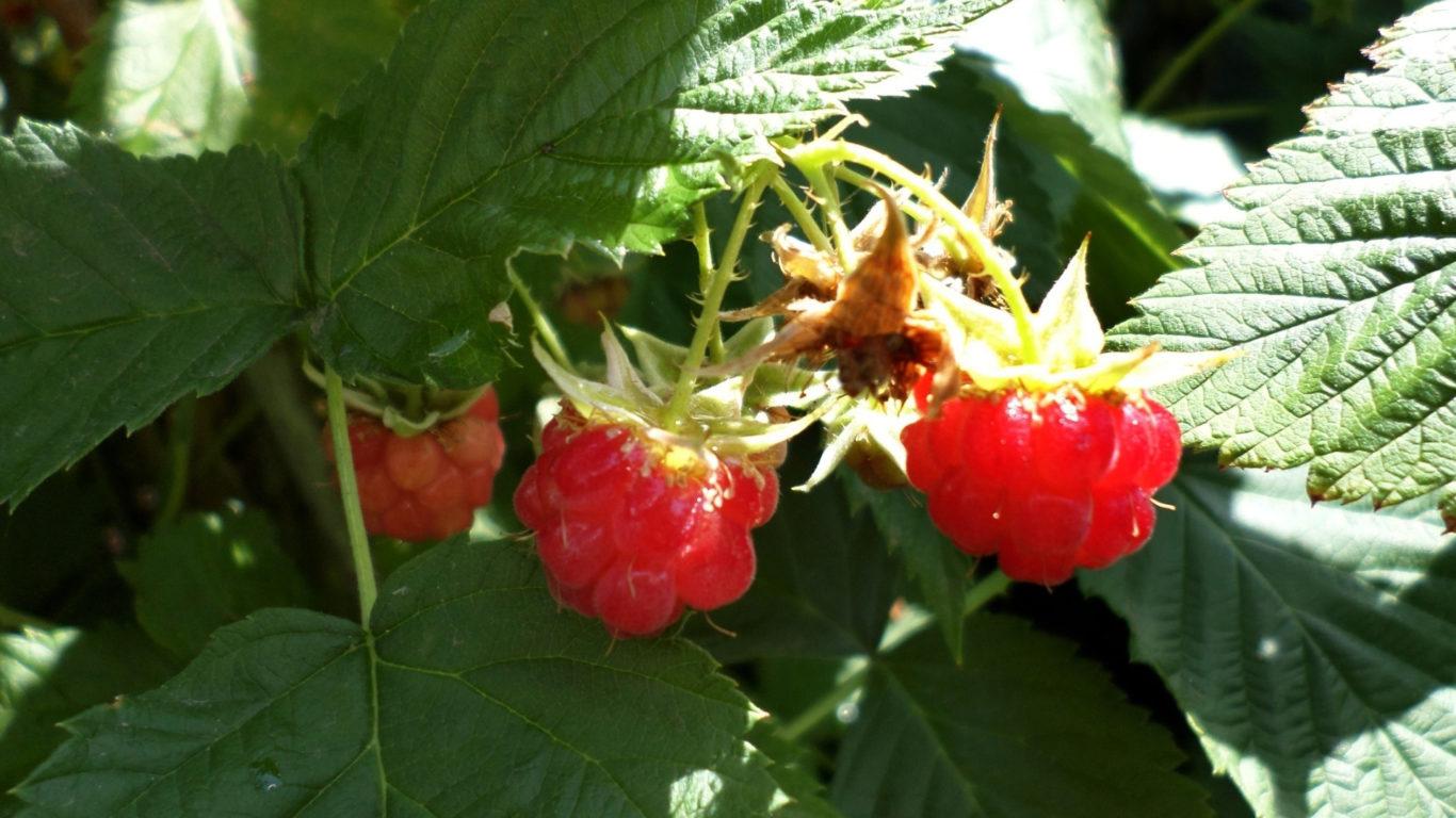 Лето - Куст малины летом