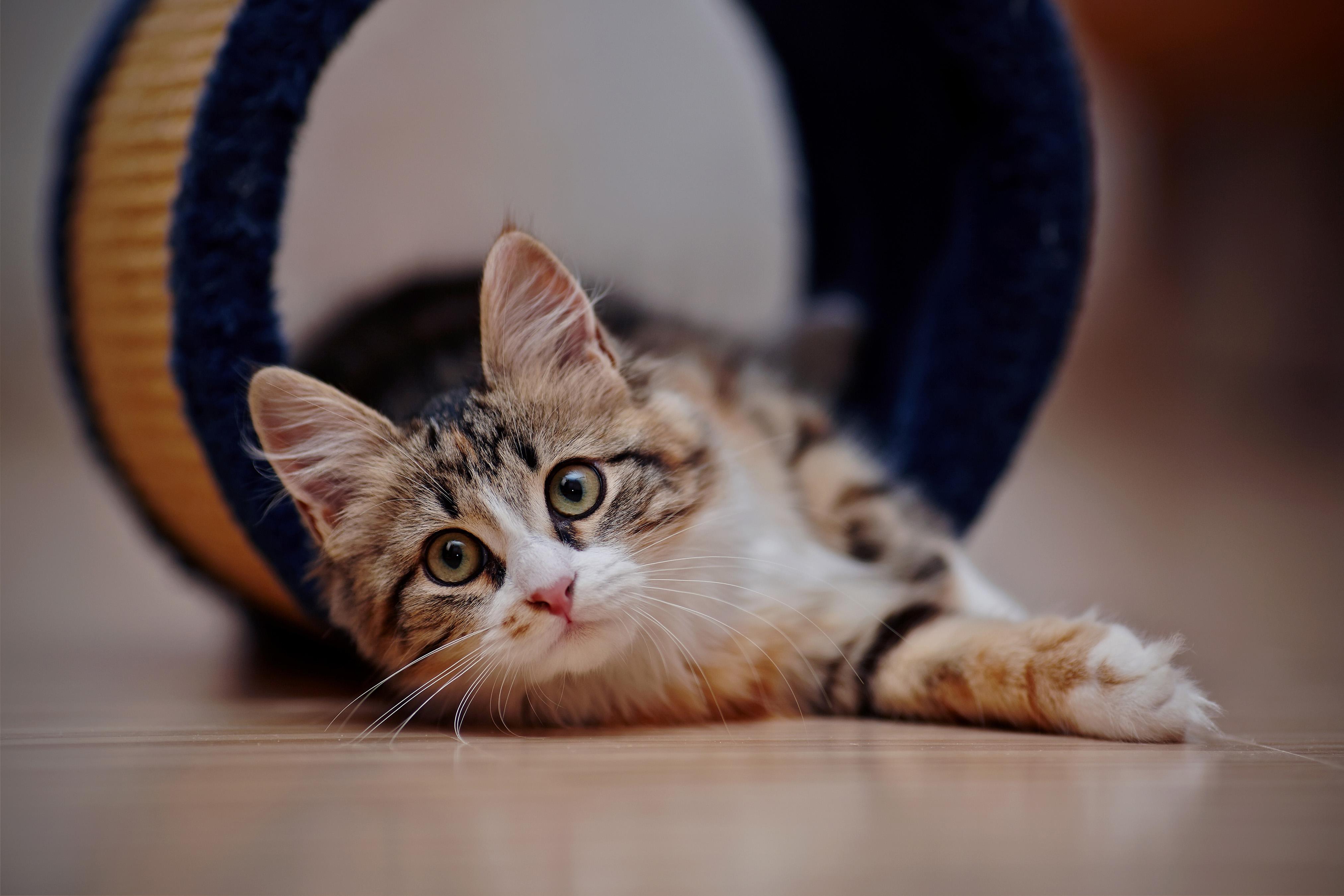Кошки - Серый кот в полоску