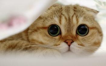 Шотландский вислоухий кот, кошки, животные, cats hd walls