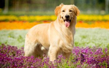 собаки, Золотистый ретривер картинки, 5k ultra hd