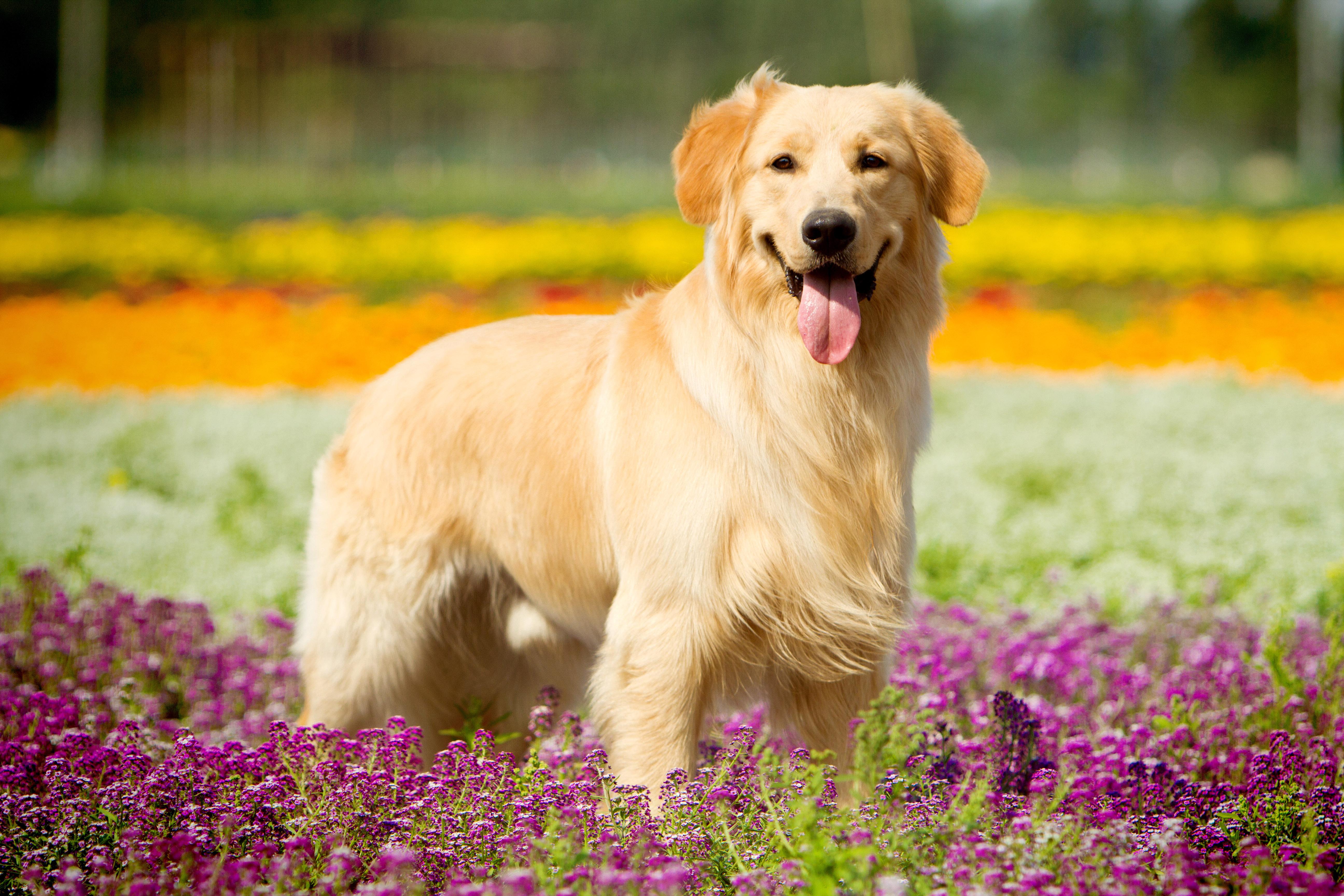 собаки, Золотистый ретривер картинки, 5k обои