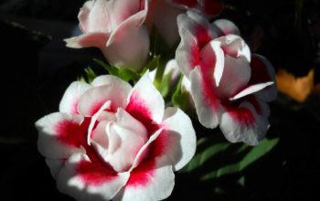 цветы обои - Глоксиния красная
