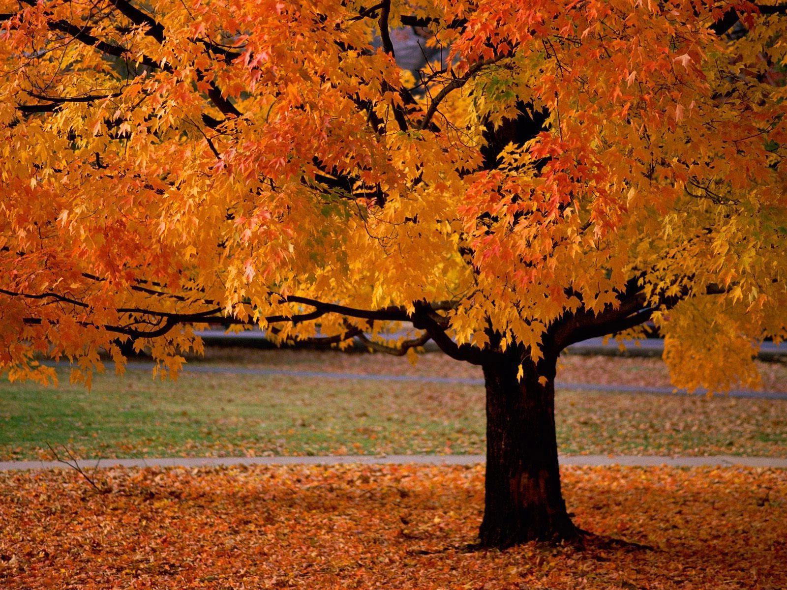 Красивая осень, листва, дерево, природа