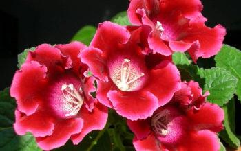 Цветы обои, красная Глоксиния, Синнингия