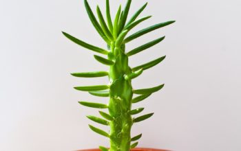 цветы обои hd, крупный древовидный кактус, Аустроцилиндропунция шиловидная