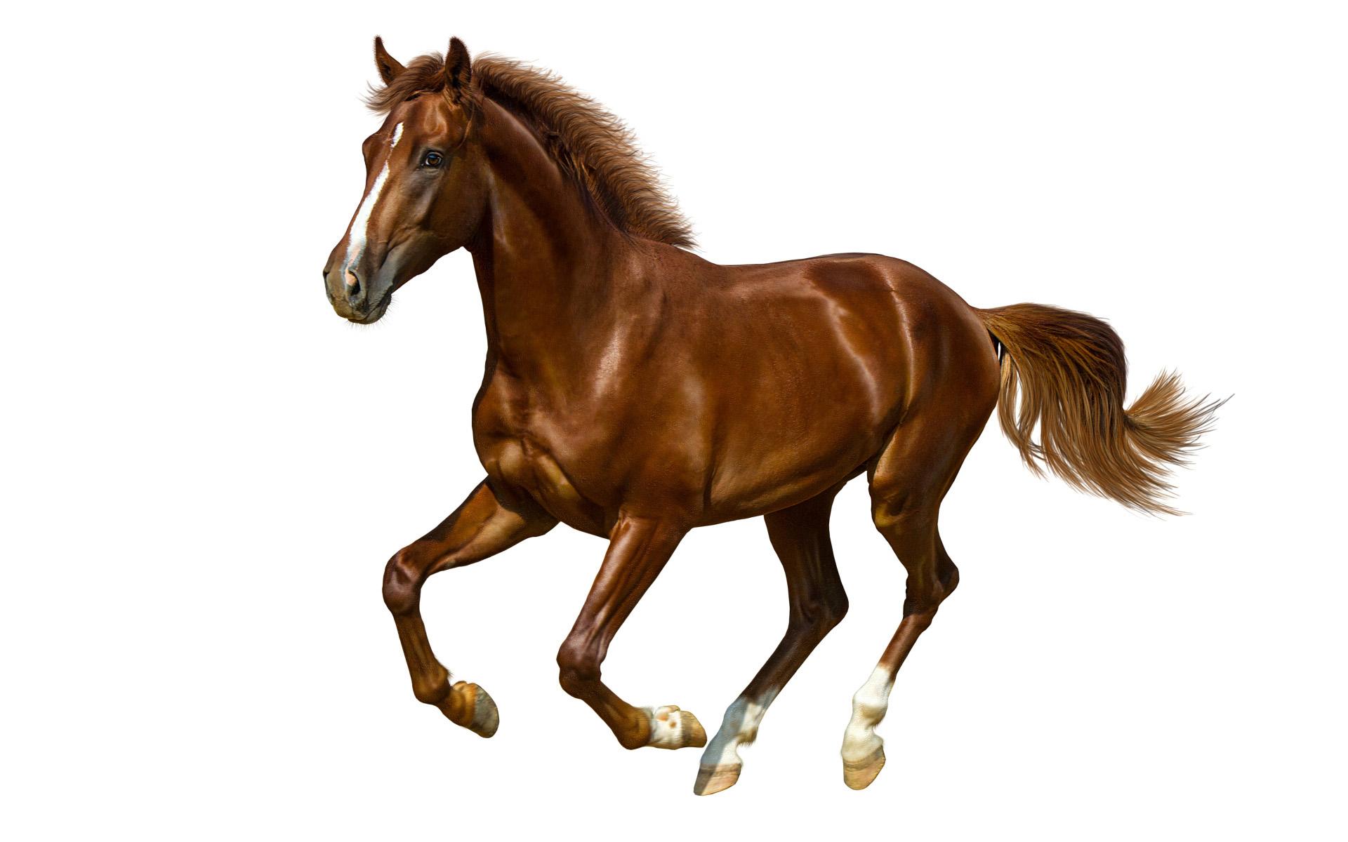 Лошади, коричневый конь на белом фоне