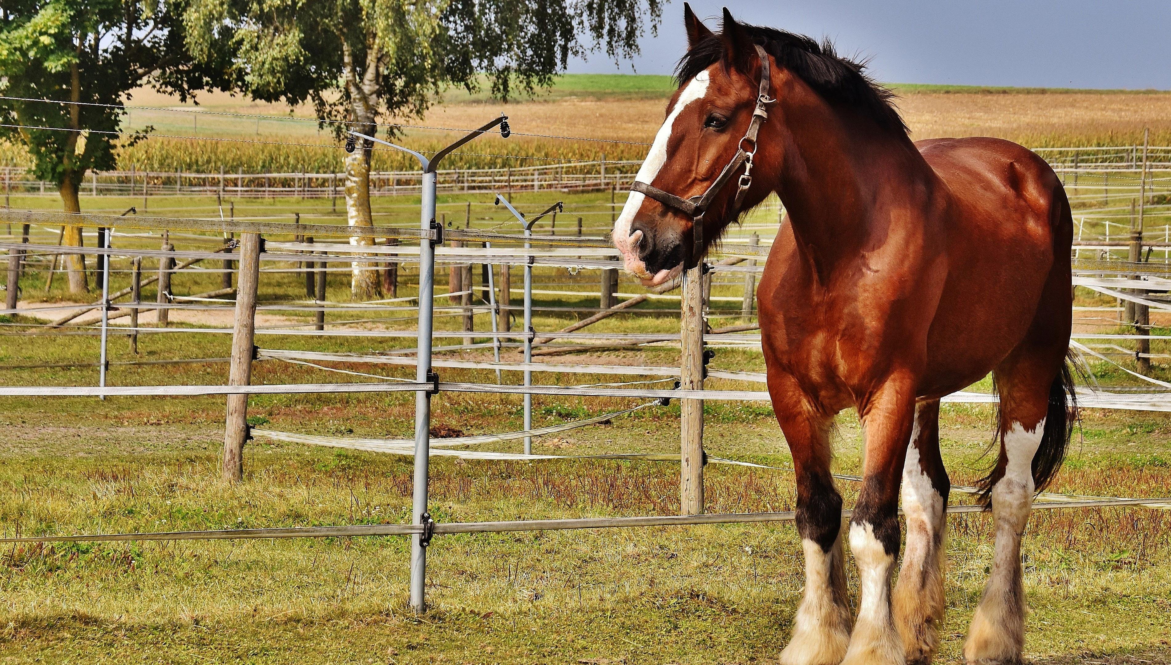 Лошади, коричневый конь на ферме