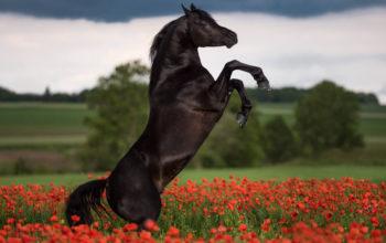 Лошади - Красивый черный конь