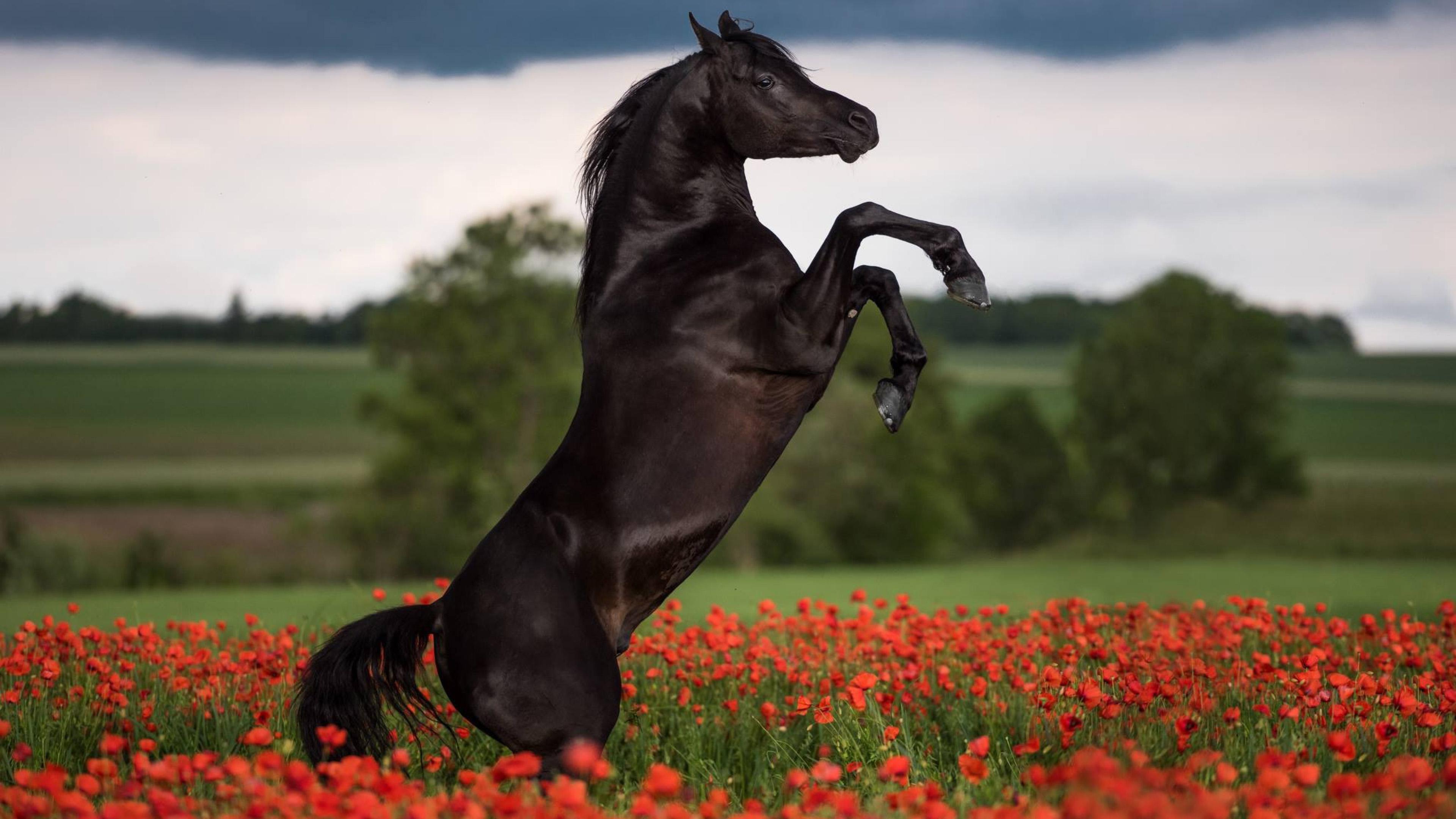 Лошади, конь, черный, horse 4k