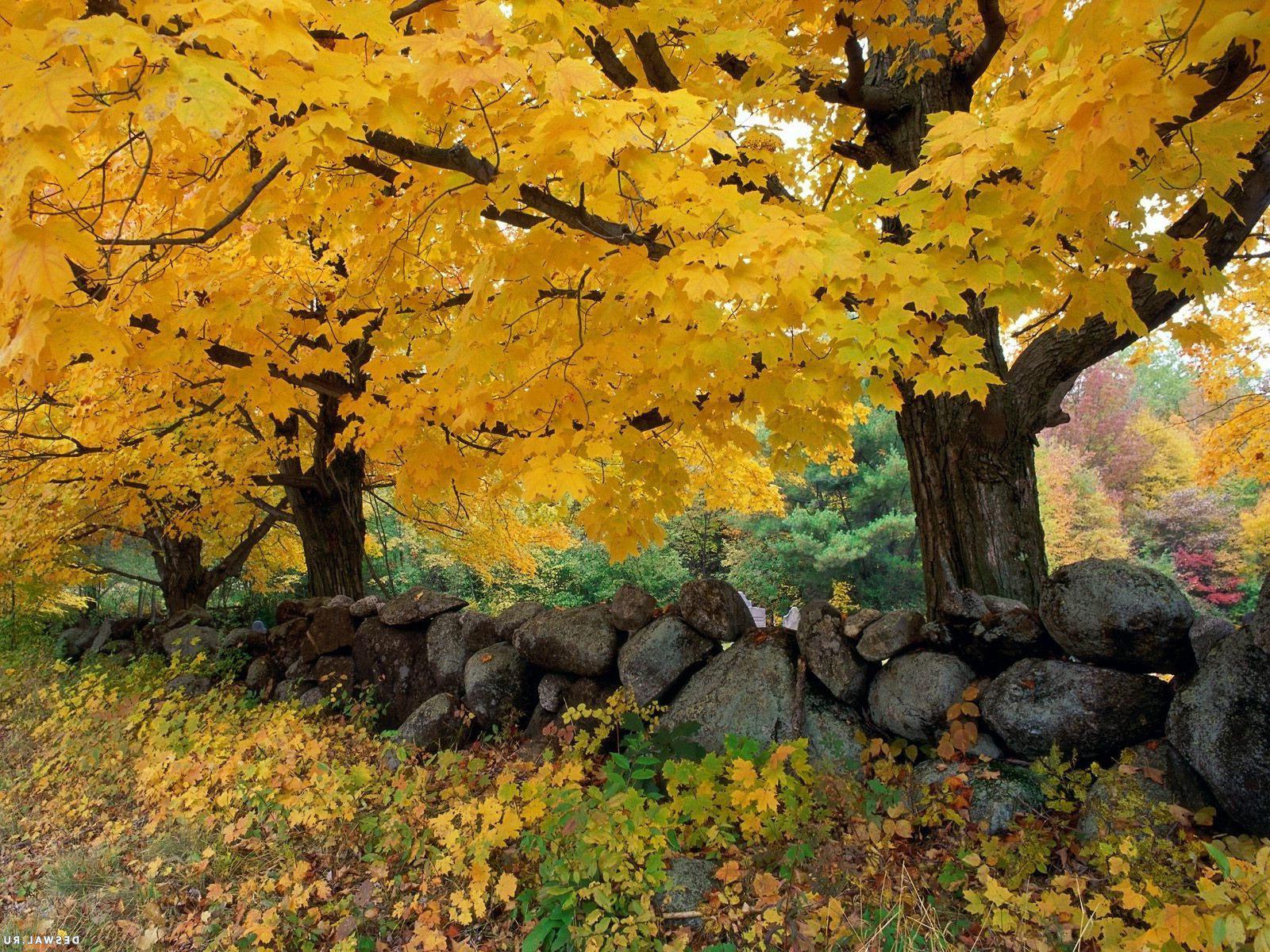Осень - Деревья с желтыми листьями