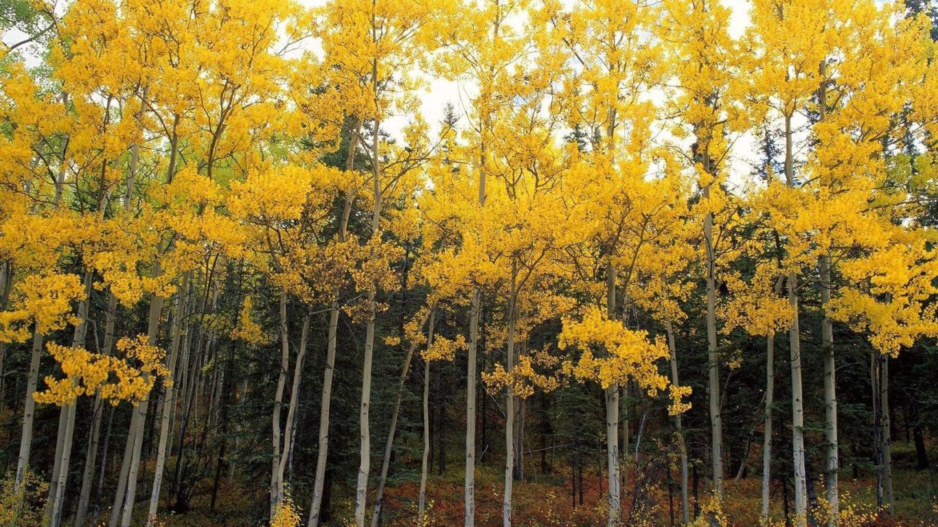 Березовый лес - Желтая листва на березах