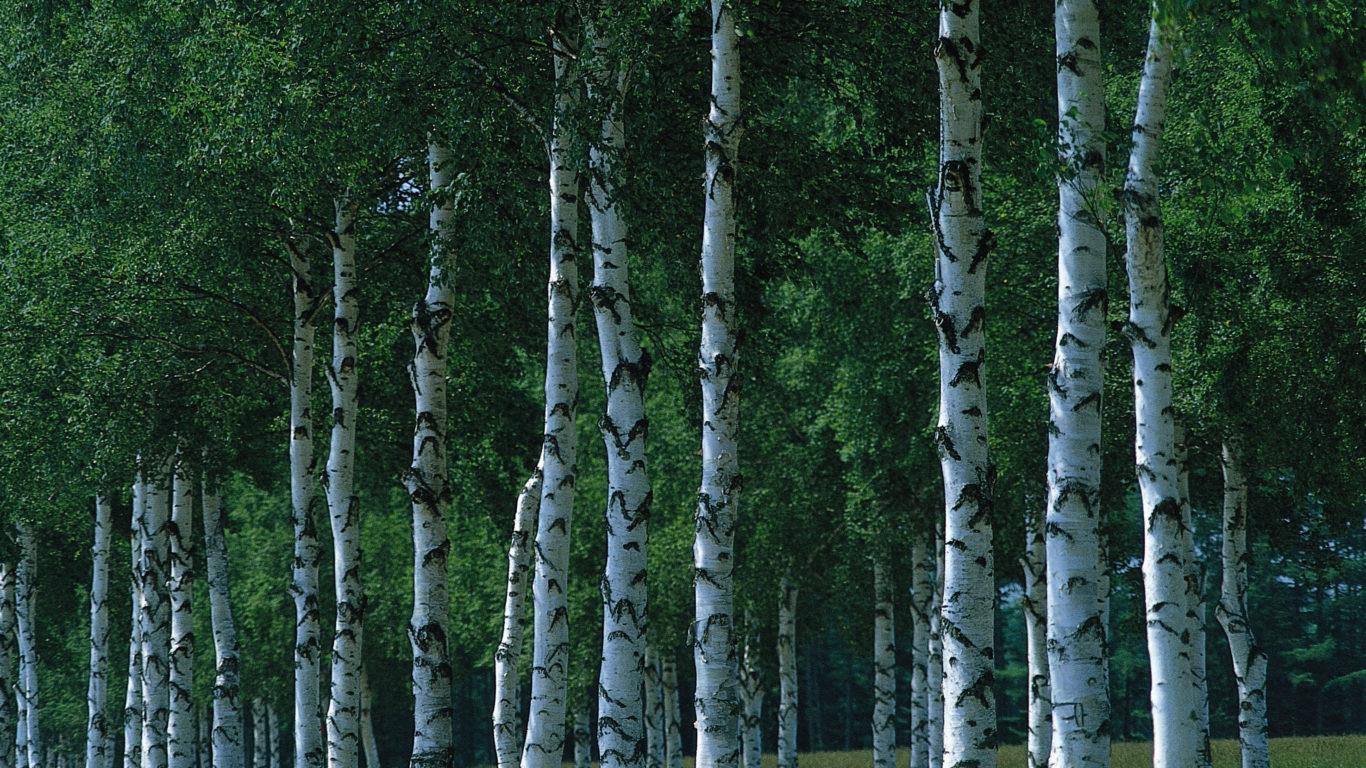 природа, березовый лес, Birch forest, full hd обои