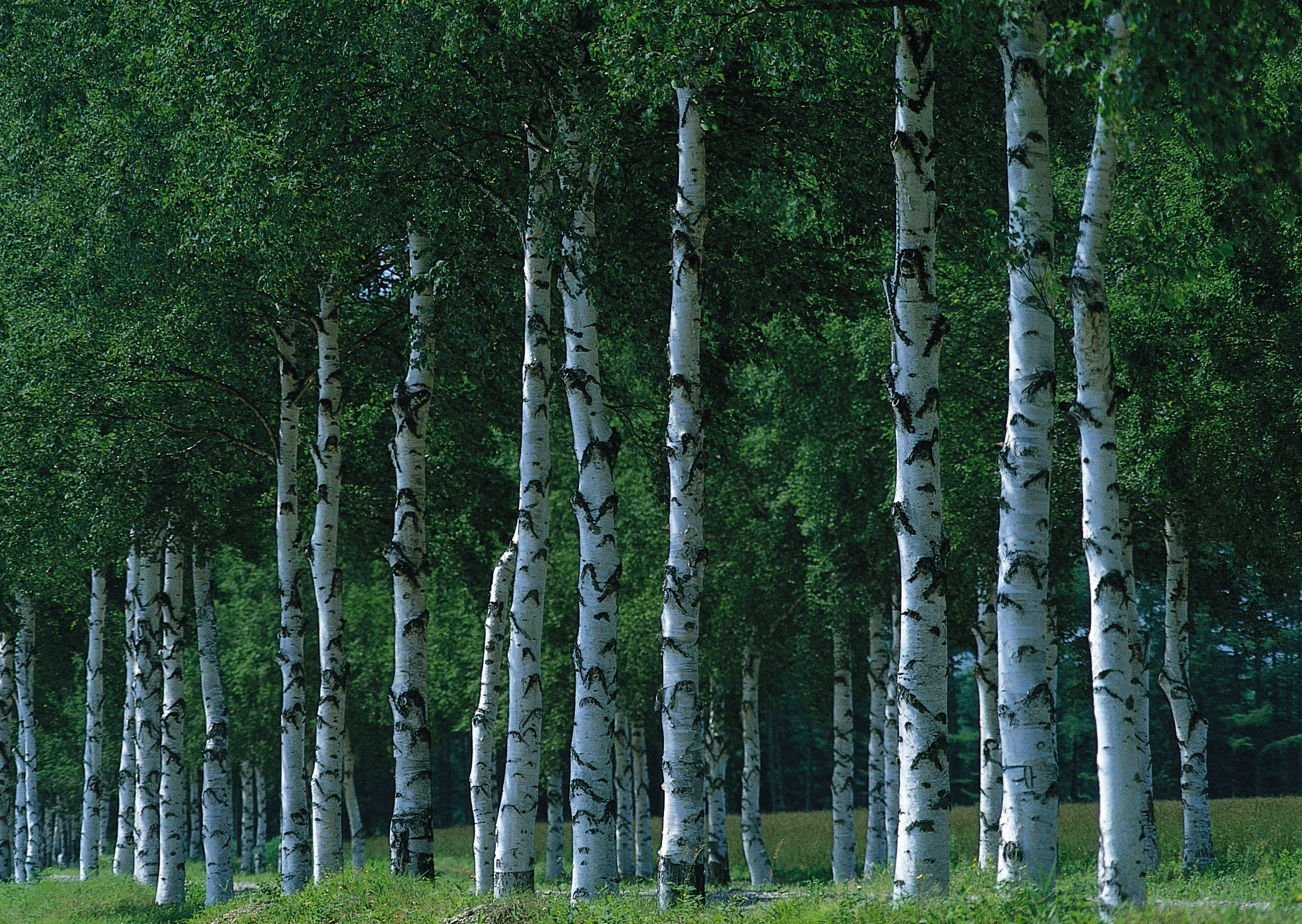 природа, березовый лес, Birch forest, full hd обои