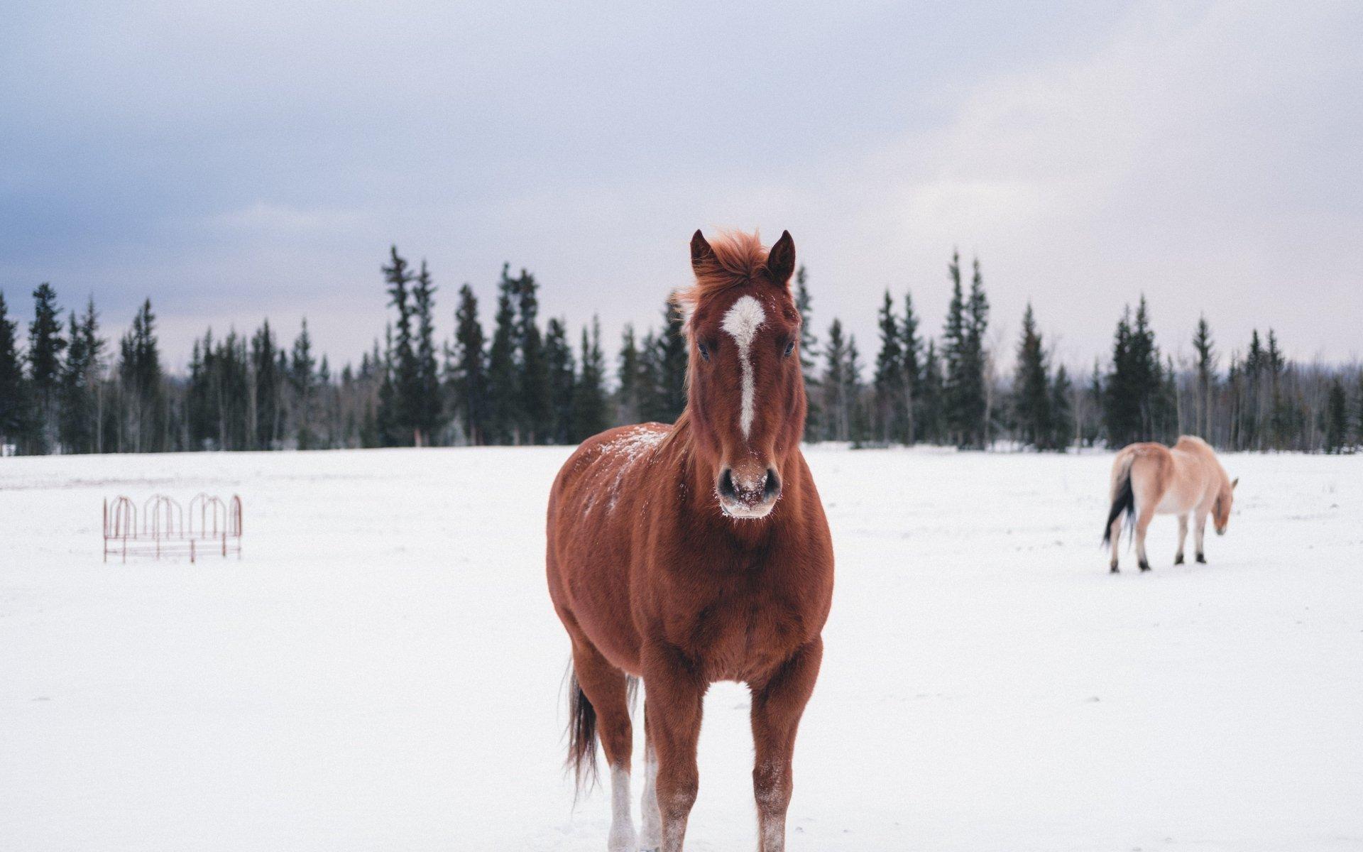 лошадь, зима, конь, снег, животные, лес, full hd обои