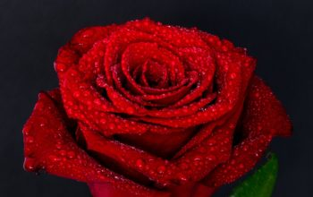 Цветы, роза красная, лепестки, капельки, макро