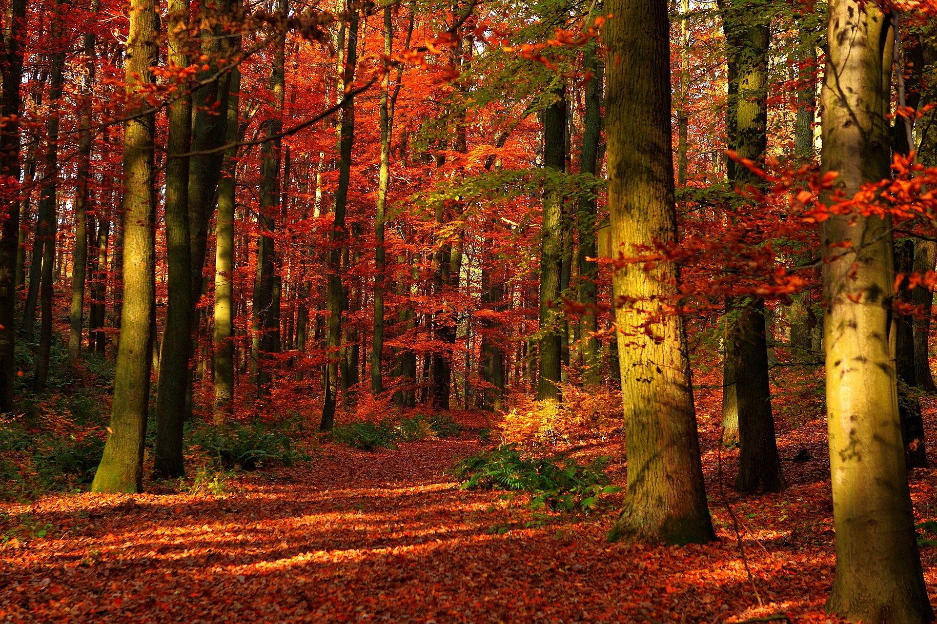 осень, красные деревья в лесу осенью