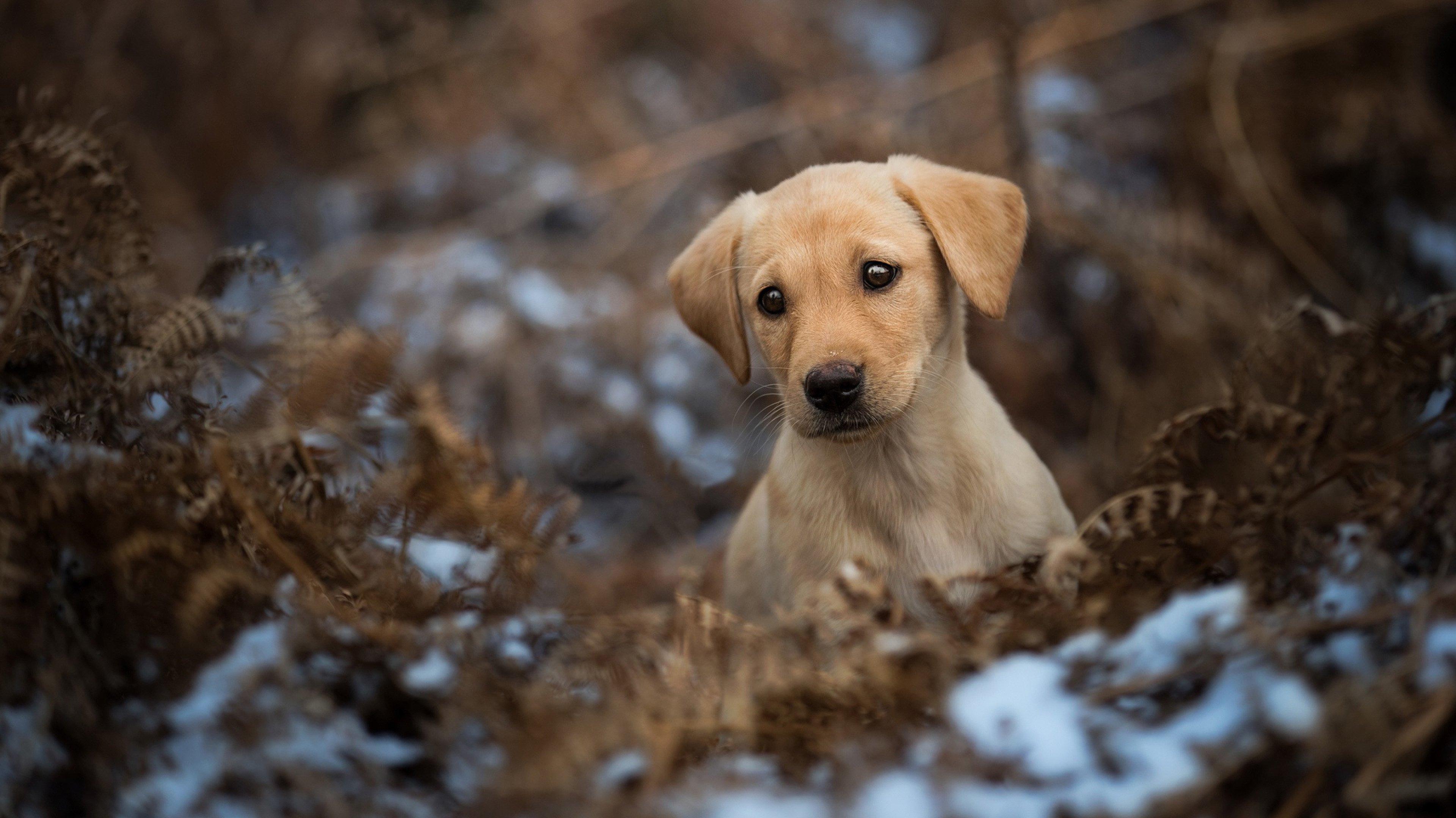 с щенками обои, золотистый ретривер, пес, собаки, животные, 4к