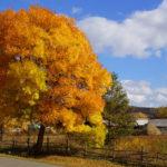 Пушистое желтое дерево осенью