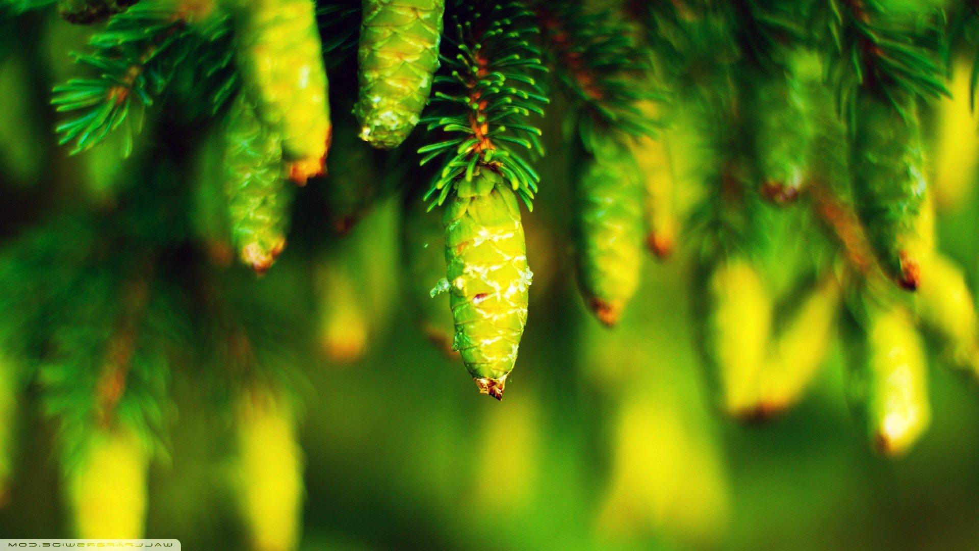 природа, растения, шишки, хвойное дерево