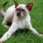 Белый сиамский кот