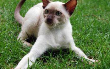 сиамские кошки обои, животные, коты
