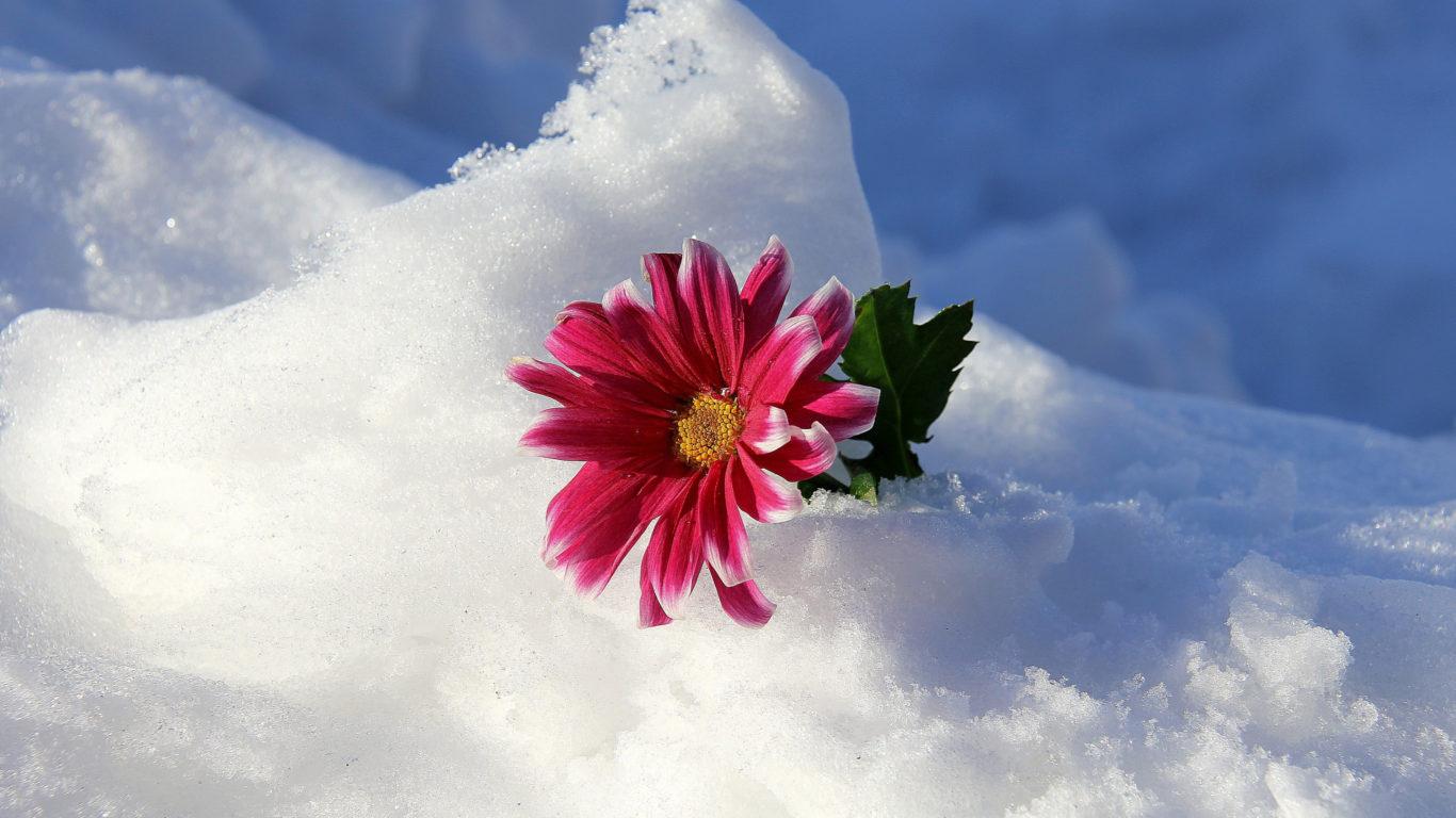 зима, снег, цветок, природа, hd обои