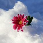Красивый красный цветок в снегу