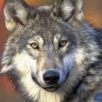 Морда серого волка 4k