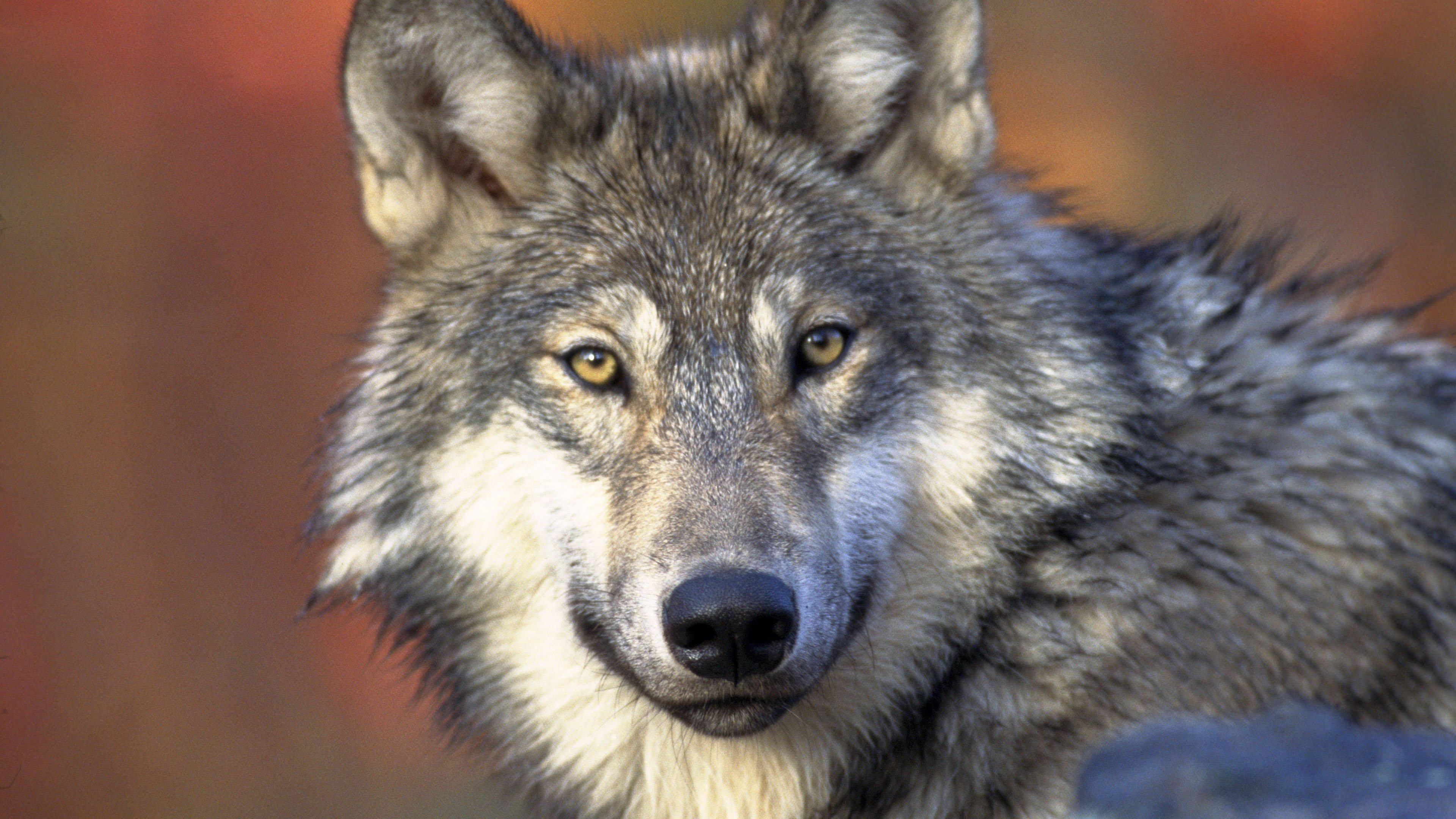 серый волк обои, морда, хищник, wolf 4k ultra hd