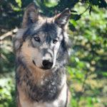 Пушистый красивый волк