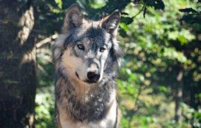 волк hd обои, хищник, животные