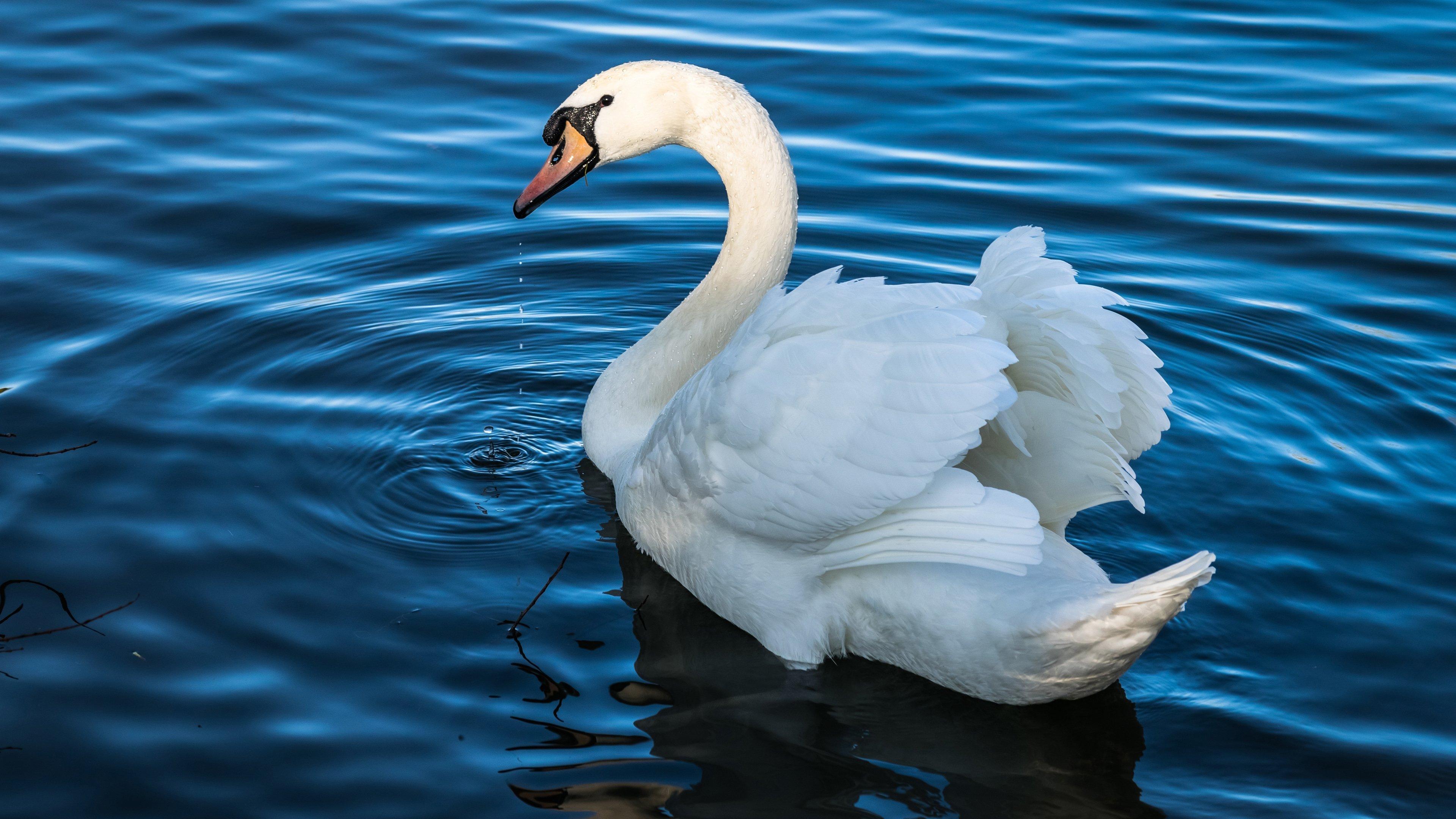 лебедь фото, птицы, животные, swan photos, birds, animals