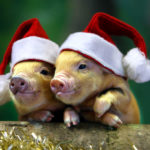 Две свинки в шапках Деда мороза