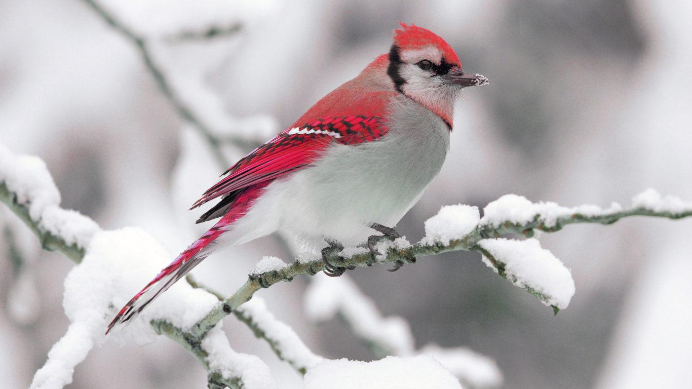зимняя птица, обои hd, winter bird