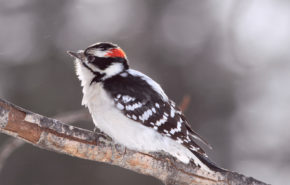 Птицы, дятел на ветке, birds, woodpecker, 4k обои