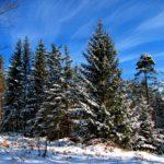 Красивые высокие елки