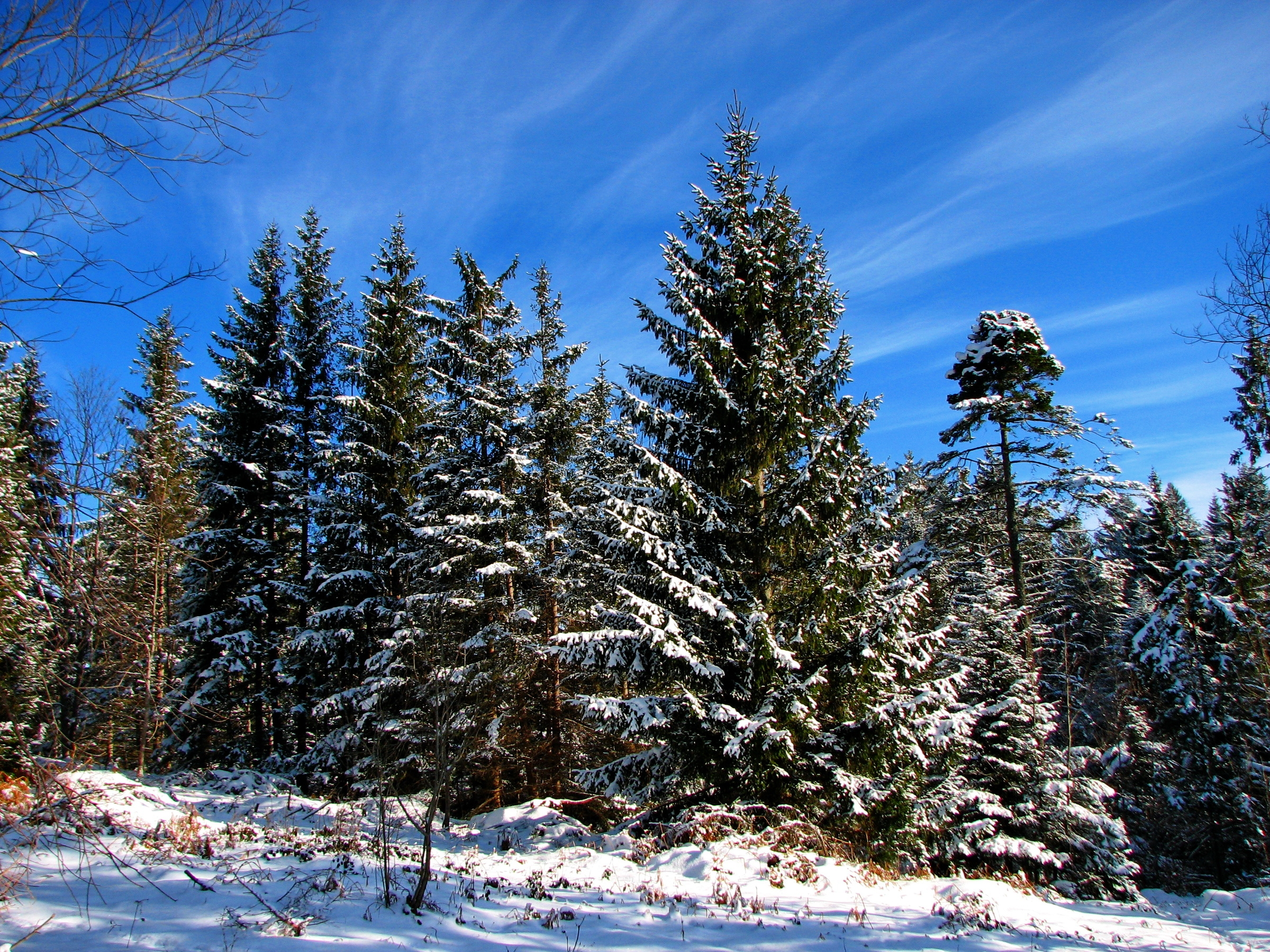 зима, снег, ели, деревья, небо, лес, обои hd