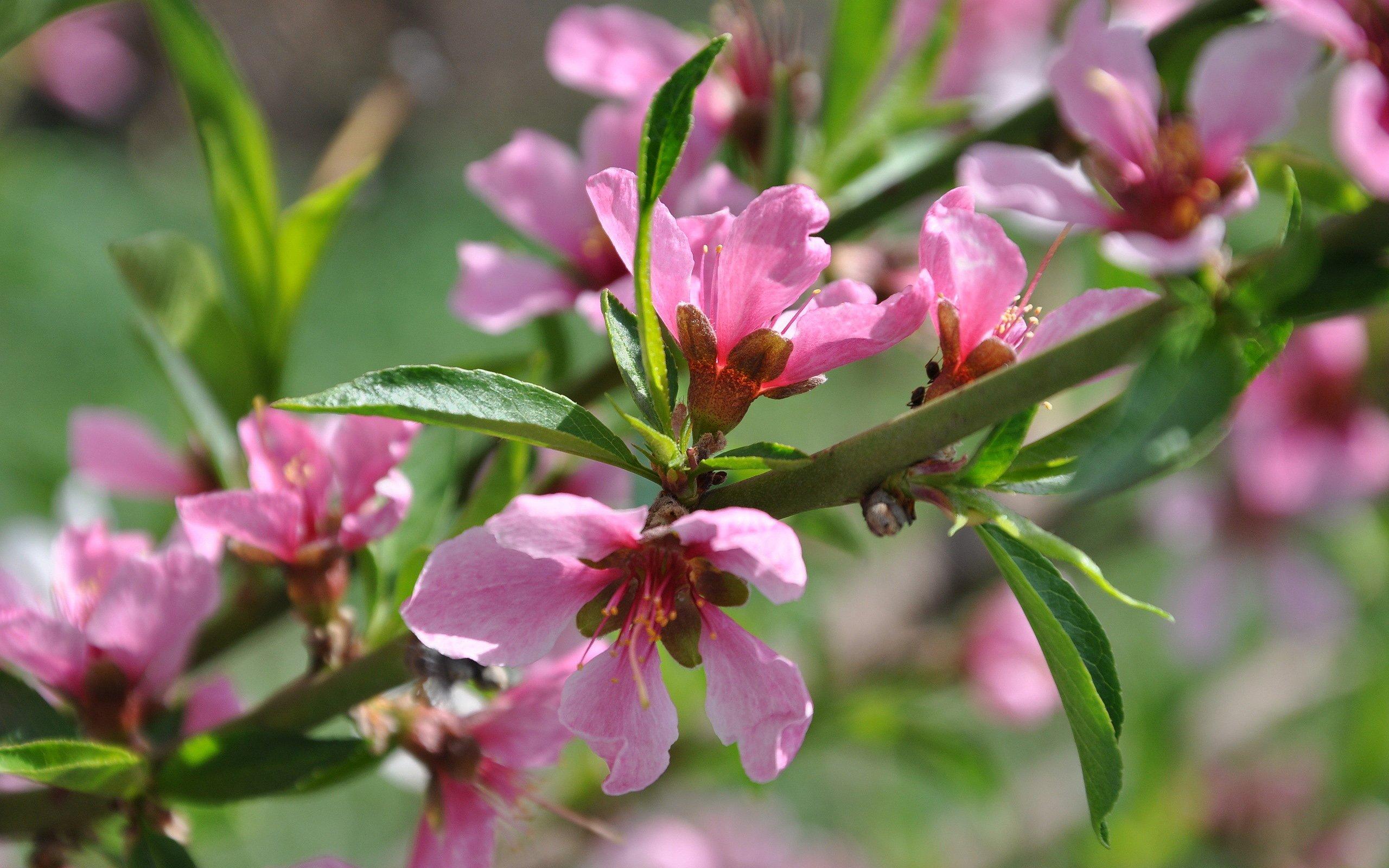 весна, цветение, ветка, дерево, персики, hd обои