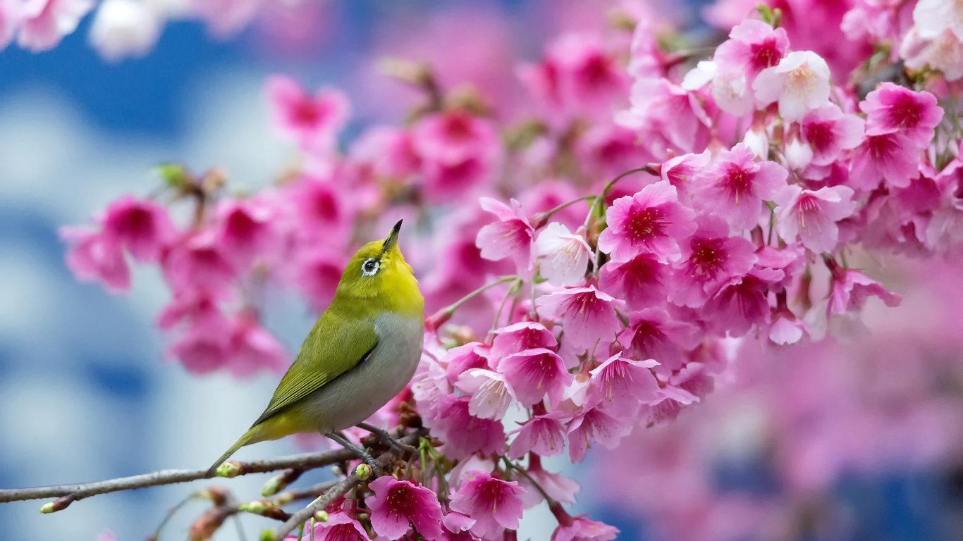 весна, вишня, ветка, цветы, красота, японская белоглазка, hd обои