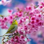 Японская белоглазка на веточке весной