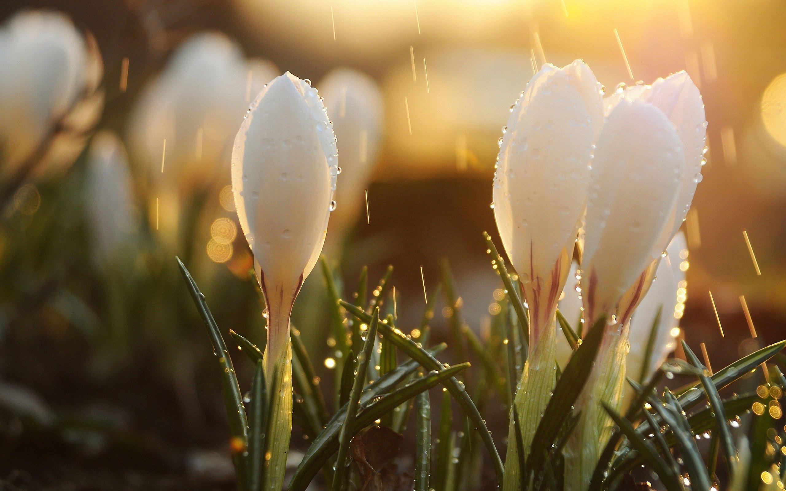 весна, подснежники, обои HD, капли, цветы, бутоны