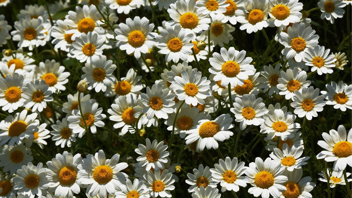 весенние цветы обои для рабочего стола, ромашки, поляна, hd обои
