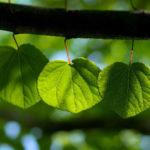 Зеленые листья на дереве