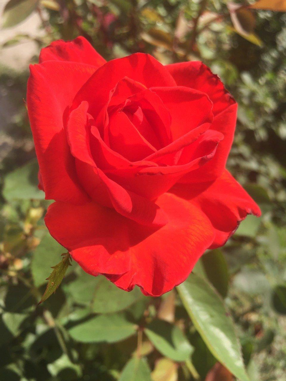 Фото Красной Розы