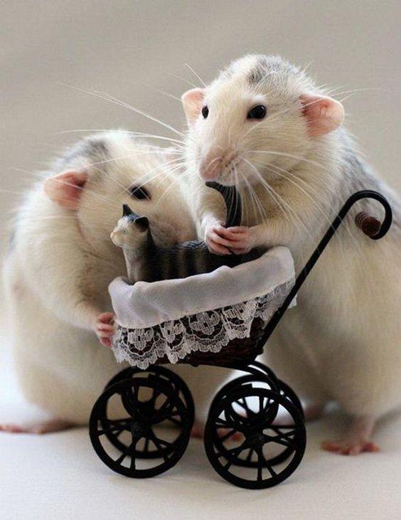 фото крысы